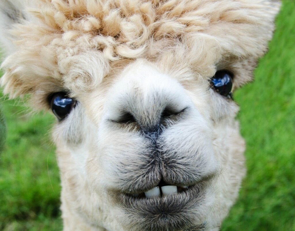 alpaca, smile, teeth