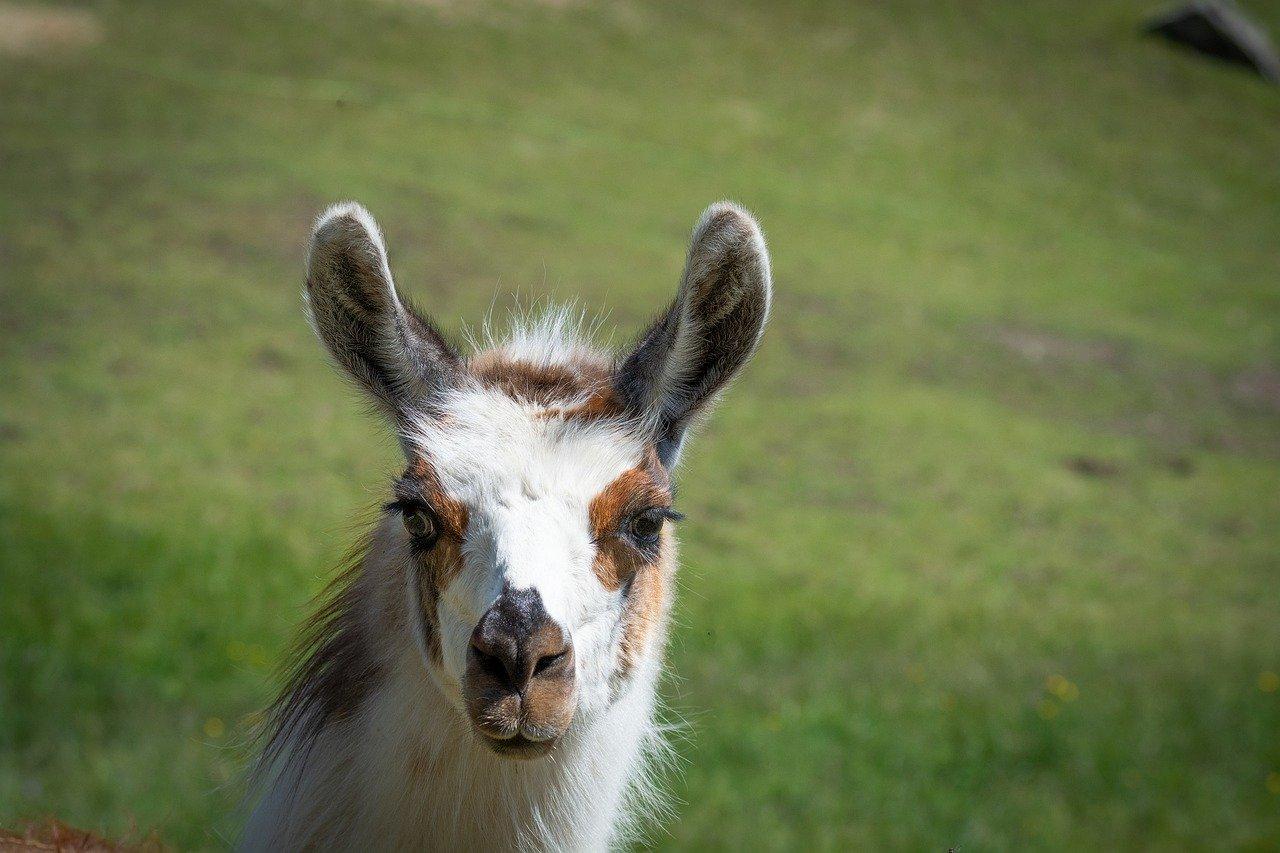 llama, llama head, patched
